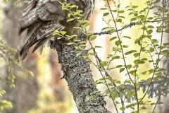 Chouette lapone ( Strix nebulosa)
