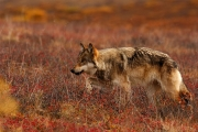 02_Loup gris
