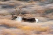 03_Filé sur un caribou