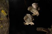 Juvéniles de chouette chevêche en vol