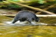 Filé sur un ours noir dans la rivière