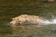 Loup à la pêche, au galop, plonge