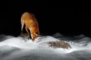 Renard mulotte dans la neige