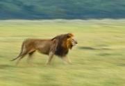 Filé de lion