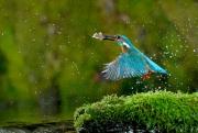 Martin-pêcheur (Alcedo atthis) en vol à la pêche Capture d'un alevin France