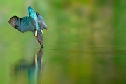 Martin-pêcheur (Alcedo atthis) en plongeon dans une rivière, L