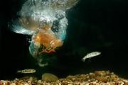 Martin-pêcheur (Alcedo atthis) Plongeon et capture d'un alevin Lorraine France