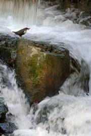 Cincle plongeur (Cinclus cinclus) sur un rocher à côté d'une cascade, avec des proies dans le bec, Moselle, France