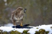 Buse variable (Buteo buteo) sur une charogne : un corbeau freux (Corvus frugilegus) sous la neige en hiver France