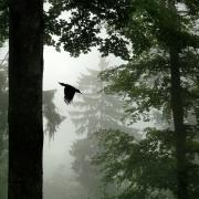 Pic noir (Dryocopus martius) à l'envol du nid Ambiance de brume daus la forêt vosgienne Lorraine France