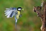 Mésange charbonnière (Parus major) en vol à l'arrivée au nid Fra