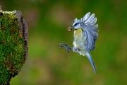 Mésange bleue en vol à l'arrivée au nid Lorraine France