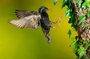 Etourneau sansonnet (Sturnus vulgaris) en vol à l'arrivée au nid France