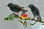Etourneau sansonnet (Sturnus vulgaris) en hiver se nourrissant d'une pomme sous la neige Lorraine France