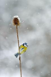 Mésange bleue (Parus caeruleus) en hiver perchée sur une cardère sauvage sèche (Dipsacus fullonum) sous la neige. Lorraine. France. Janvier