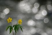 Anémone fausse renoncule (Anemone ranunculoides) en fleur devant une rivière, à contre jour, Lorraine, France, Avril
