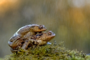 Crapaud commun (Bufo bufo) Accouplement France