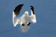 Fou de Bassan (Sula bassana) en vol, atterrissant dans la colonie, Île de Bass Rock, Ecosse, Royaume-Uni, Juillet