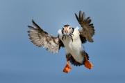 Macareux moine (Fratercula arctica) en vol Atterrissage Royaume-Uni