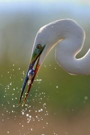 Grande aigrette (Casmerodius albus) pêche au bord d'un étang, un poisson dans le bec, Hongrie, Avril