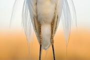 Grande aigrette (Casmerodius albus) détail plumage, Hongrie, Avril