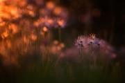 6-Thomas_Vandenheyden_Sunset_pulsatille_Médaille_botanique