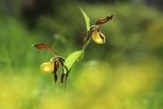 8-Jean-Claude_Menneron_Sabot_de_vénus_Diplôme_botanique