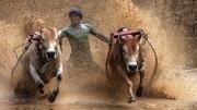 11-Martine_Bigot_Cow_racing
